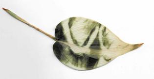 Chlorophyll print