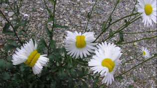 mutant-daisies.jpg?resize=1200-630-quality=65