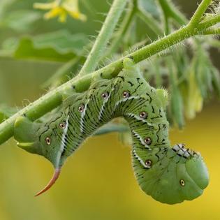 tomato-hornworm.jpg