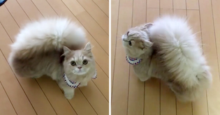 meet-bell-the-cat-with-a-fluffy-squirrel-like-tail.jpg