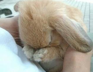 sobbing bunny