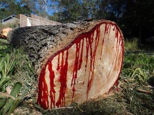 Bloodwood / Kiaat tree