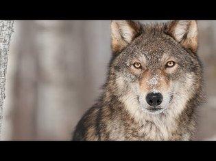 Was tun mit unseren Wölfen? | Panorama - die Reporter | NDR