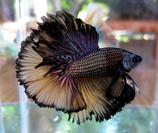 betta-fish-10.jpg