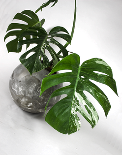dirty-roots-closeup-variegated-monstera-concrete-sphere.png?format=1500w