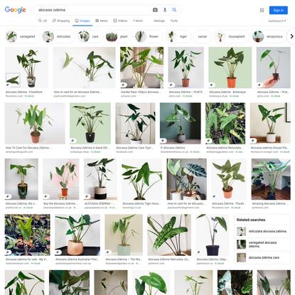 alocasia zebrina - Google Search