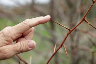 hand_thorn.jpg
