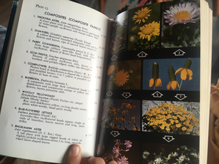 A Field Guide to Rocky Mountain Wildflowers: Craighead and Davis - 23
