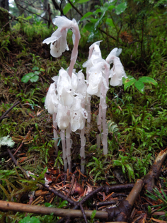 monotropa-uniflora_indian-pipe-ghost-plant-corpse-plant_primary_1_me_20120729_beth-zimmer_me-01.jpg