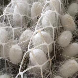 silkworm-cocoon-1.jpg