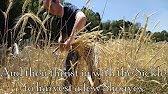 Grain & Harvest