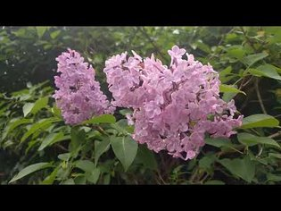 lilac in wind