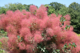 Velvet Fog Smoke Bush