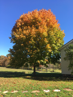 ombre tree in connecticut
