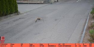 swiss-speeding-duck-front.jpg