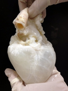 A ghost heart