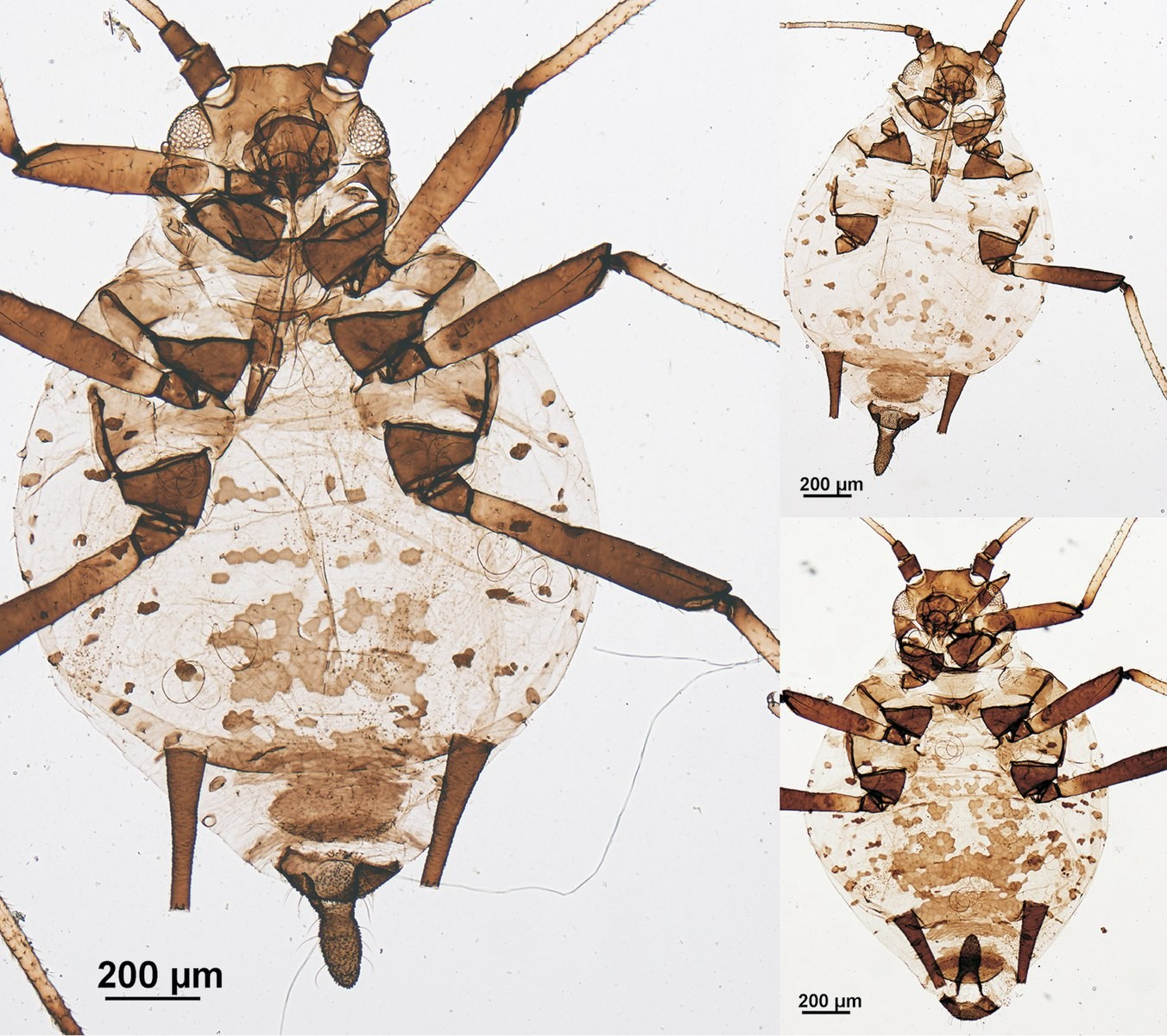 1352px-aphis_gaultheriae_-10.3897-zookeys.738.21966-_figure_3.jpg