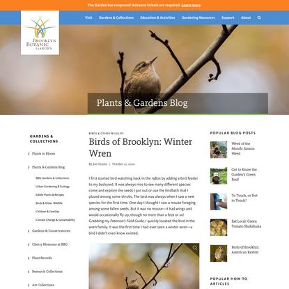 Birds of Brooklyn: Winter Wren - Brooklyn Botanic Garden