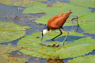 jacana-bird-with-big-feet-13.jpg