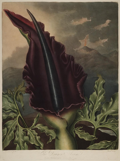 900px-dracunculus_vulgaris-_from_-the_temple_of_flora-_or_garden_of_nature-.jpg