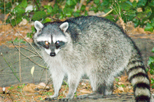 220px-raccoon-10.png