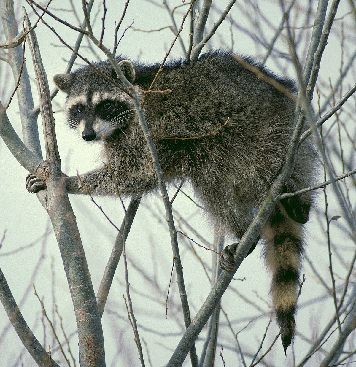 1200px-raccoon_climbing_in_tree_-_cropped_and_color_corrected.jpg