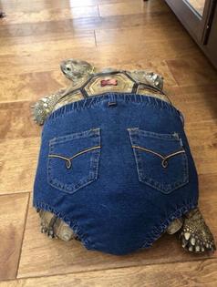 tortoise wearing jeans