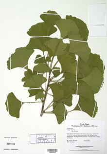 si_ci_ginkgo_herbarium_lg.jpg