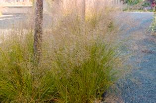 perennial_grass-prairie-dropseed.jpg