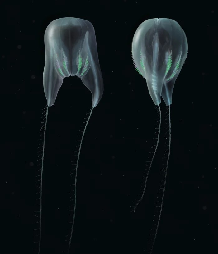"Digital illustrations of Duobrachium sparksae. (Nicholas Bezio). [""Scientists Confirm Entirely New Species of Gelatinous Blob From The Deep, Dark Sea"" a ctenophore]"