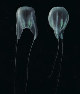 "Digital illustrations of Duobrachium sparksae. (Nicholas Bezio). [""Scientists Confirm Entirely New Species of Gelatinous Blob From The Deep, Dark Sea"" a ctenophore]"