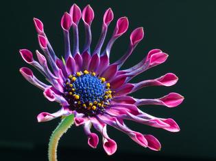 african_daisy_-osteospermum_sp._-pink_whirls-.jpg