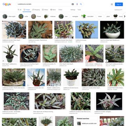 Ledebouria socialis - Google Search