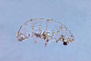 tardigrade_145097254.jpg