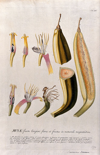 662px-plantain_banana_-musa_x_paradisiaca_l.-;_nine_sections_of_fl_wellcome_v0042994.jpg