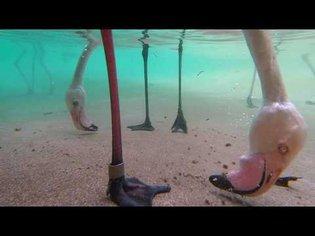 Underwater Flamingo Feeding
