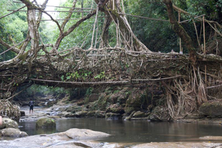 living-roots-bridge-meghalaya-aerial-rubber-fig-trees-joining-together-to-form-foot-river-159777919.jpg