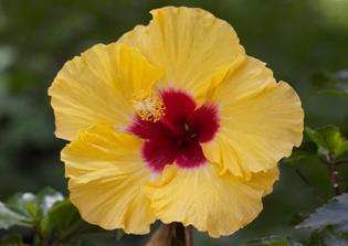 flower-guide-wild-hibiscus-550-550x390.jpg