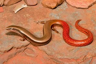 Pilbara flame-tailed slider (Lerista flammicauda), photo by Jordan Vos