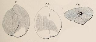 117709_triloculina-strigillata-dorbigny-1850-1-.jpeg