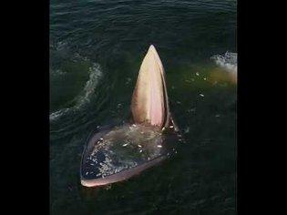 An Eden's Whale trap feeding in the gulf of Thailand.