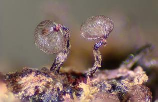 slime mold (tasmania)
