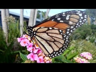 Monarch Butterfly Awesome Close Up