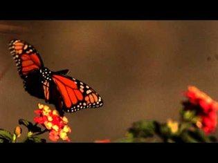 Slow motion Butterfly in flight