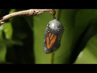 Monarch butterfly emerging time lapse