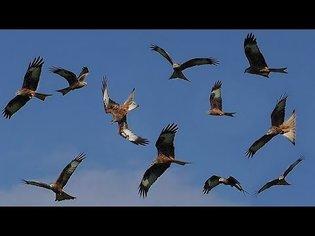 Red Kites : Birds Flying in Slow Motion - Red Kite Bird