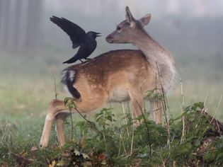 pay-a-fallow-deer-with-a-jackdaw-on-its-back-in-bushy-park.jpg