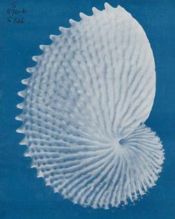 Paper Nautilus, 1946