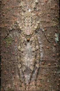Lichen Huntman Spider