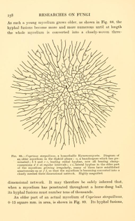 """mycelium of Coprinus sterquilinus, from """"Researches on Fungi"""" by Buller, A. H. Reginald"""